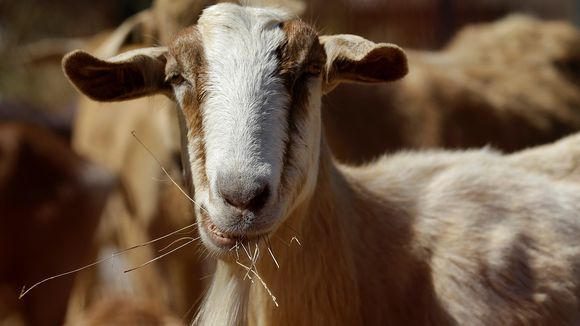 Defensible Space, Mutual Aid and Goats – They All Play an Important Role in Protecting Your Home from Wildfire